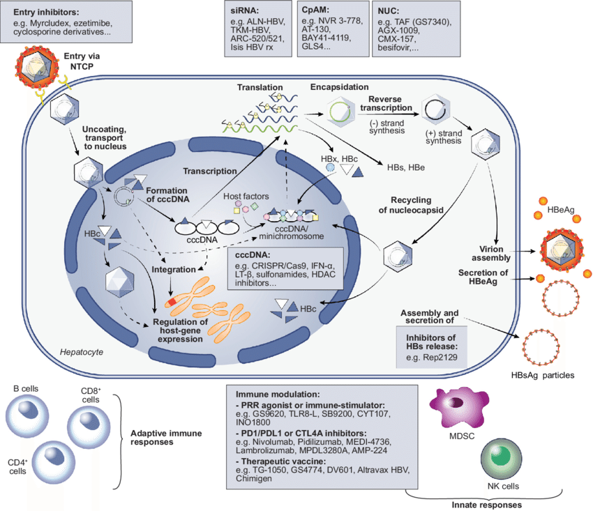 hbv-life-cycle-and-main-classes-of-antivirals-in-development
