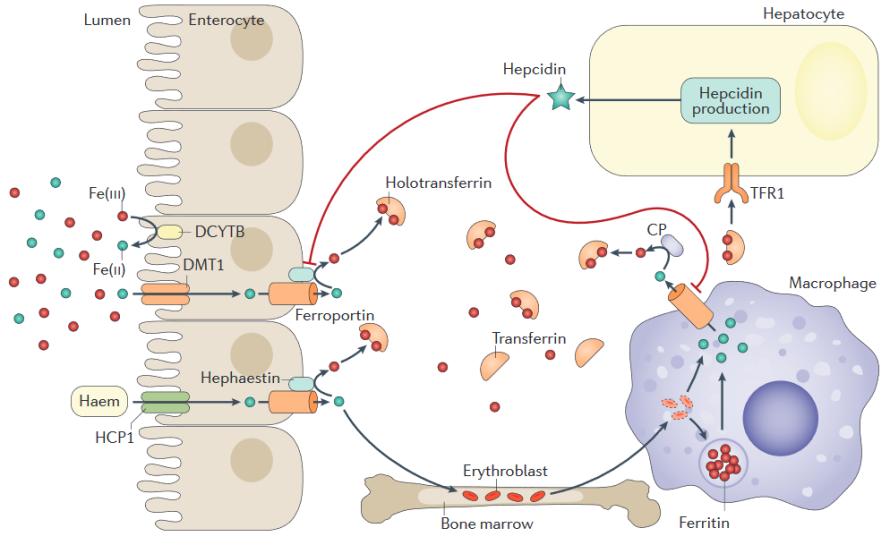 hemocromatosepatogenia